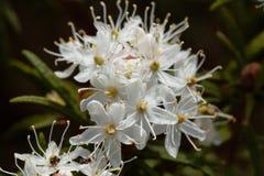 Fleurs de tomentosum de rhododendron de thé de Labrador de marais photographie stock