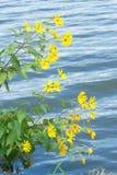 Fleurs de topinambour Images stock