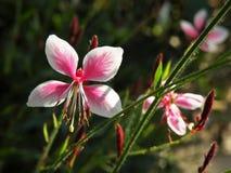 Fleurs de tourbillonnement de Gaura Lindheimeri de papillons Image stock