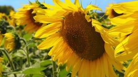 Fleurs de tournesol dans le domaine Mouvement de l'appareil-photo de droite à gauche Les abeilles volent banque de vidéos