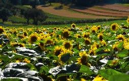 Fleurs de tournesol en montagnes Photographie stock libre de droits