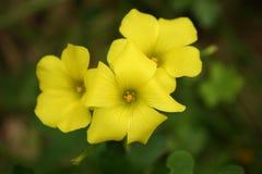 Fleurs de trèfle Image stock