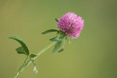 Fleurs de trèfle d'isolement Images stock