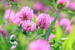 Fleurs de trèfle dans le domaine Photographie stock libre de droits