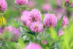 Fleurs de trèfle dans le domaine Image libre de droits