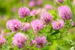 Fleurs de trèfle dans le domaine Photographie stock