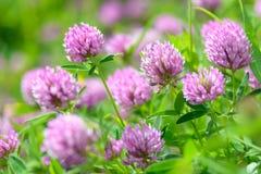 Fleurs de trèfle dans le domaine Images stock