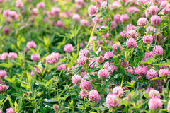 Fleurs de trèfle dans le domaine Photo stock