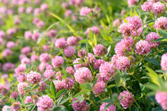 Fleurs de trèfle dans le domaine Photos stock