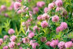 Fleurs de trèfle dans le domaine Image stock