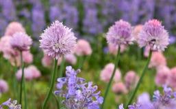 Fleurs de trèfle dans le jardin Images stock