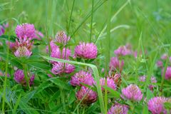 Fleurs de trèfle violet Photos libres de droits