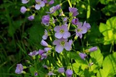 Fleurs de trayeuse colorées par lilas photos libres de droits