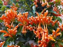 Fleurs de trompette d'Oange images libres de droits