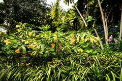 Fleurs de trompette dans un beau jardin chez Monte au-dessus de Funchal Madère Photos libres de droits