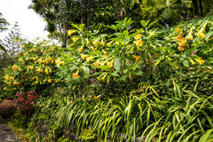 Fleurs de trompette dans un beau jardin chez Monte au-dessus de Funchal Madère Images stock