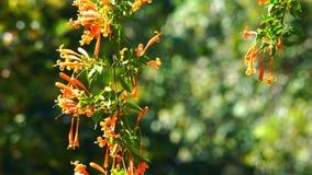 Fleurs de trompette oranges fleurissant à la lumière du soleil clips vidéos