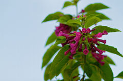 Fleurs de trompette violettes Photographie stock libre de droits