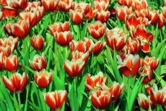 Fleurs de tulipe Image libre de droits