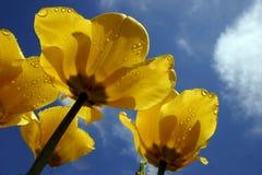 Fleurs de tulipe Images libres de droits