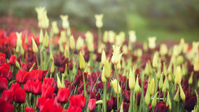 Fleurs de tulipe Photos stock