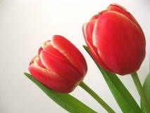 Fleurs de tulipe au-dessus de blanc Photo stock