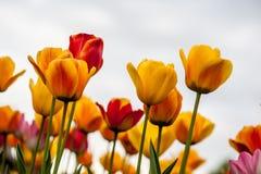 Fleurs de tulipe dans la campagne Photographie stock libre de droits
