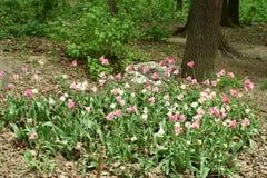 Fleurs de tulipe dans un parterre images libres de droits