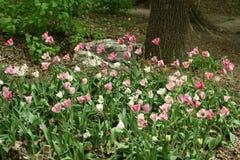 Fleurs de tulipe dans un parterre photographie stock libre de droits