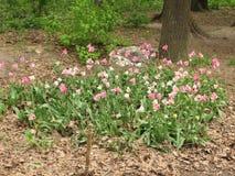 Fleurs de tulipe dans un parterre photo libre de droits