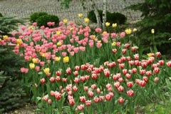 Fleurs de tulipe dans un parterre images stock
