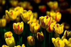 Fleurs de tulipe de couleur jaune et rouge sur un parterre Photo libre de droits