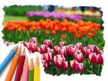 Fleurs de tulipe de dessin au crayon de couleur Images stock