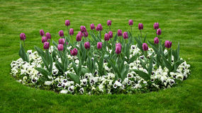 Fleurs de tulipe de ressort image libre de droits