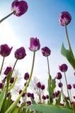 Fleurs de tulipe de source Images libres de droits