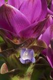 Fleurs de tulipe du Siam Images libres de droits