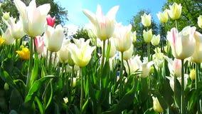 Fleurs de tulipes banque de vidéos
