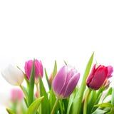 Fleurs de tulipes de ressort photographie stock libre de droits