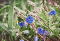 Fleurs de véronique de Veronica ou de Germander images stock