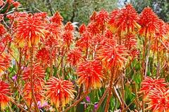 Fleurs de vera d'aloès Image libre de droits