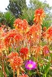 Fleurs de vera d'aloès Photographie stock