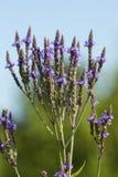 Fleurs de vervain bleu dans un marais dans le Connecticut photographie stock