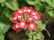 Fleurs de verveine sur la nature Photo stock