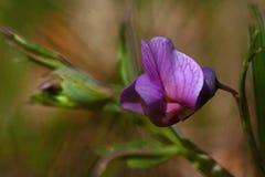 Fleurs de vesce blanche Image stock