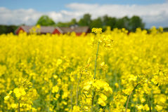 Fleurs de viol Photographie stock libre de droits