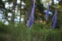 Fleurs de violette de longifolia de Veronica photo stock