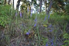 Fleurs de violette de longifolia de Veronica photos libres de droits