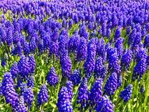 Fleurs de violette de ressort Photos libres de droits