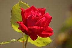 Fleurs de vue de face rouge de couleur au soleil - Images libres de droits