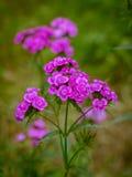 Fleurs de William doux Photographie stock libre de droits